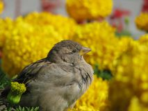 Sparrow sits on yellow flowers Royalty Free Stock Images