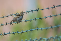Sparrow sitting on a barbed wire fence stock photography