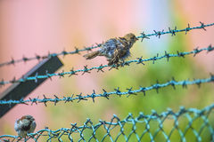 Sparrow sitting on a barbed wire fence Stock Photo