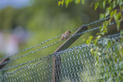 Sparrow sitting on a barbed wire fence Stock Photos