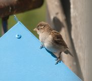 Sparrow sitting on blue roof of bird feeder Royalty Free Stock Photography