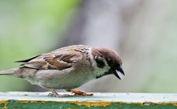 Sparrow sitting on the Board Stock Photo