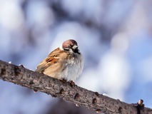 Sparrow sitting on branch Stock Images