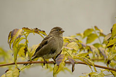 Sparrow Stock Images