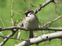 Sparrow. Sitting on a branch Stock Photos