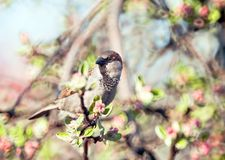 Sparrow. Sitting on the branch Royalty Free Stock Image