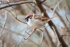 Sparrow sitting on a branch Royalty Free Stock Images