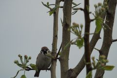 Sparrow sitting on a branch of Apple Stock Photo