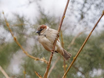 Sparrow sitting on branch Royalty Free Stock Image