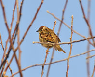 Sparrow. Sitting on a branch on a cold day Stock Images
