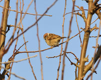 Sparrow. Sitting on a branch on a cold day Stock Photo