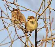 Sparrow. Sitting on a branch on a cold day Royalty Free Stock Photos