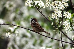 Sparrow sitting on a branch Stock Images