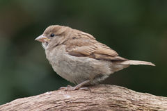 Sparrow sitting on a branch. Sparrow (juvenile) sitting on a branch Royalty Free Stock Images