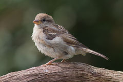 Sparrow sitting on a branch. Sparrow (juvenile) sitting on a branch Royalty Free Stock Photos