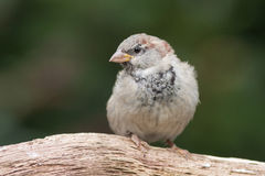 Sparrow sitting on a branch. Sparrow (juvenile, male) sitting on a branch Stock Photography