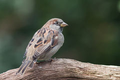 Sparrow sitting on a branch. Sparrow (male) sitting on a branch Stock Photo
