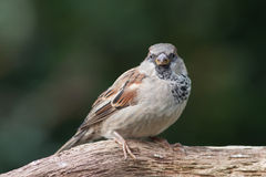 Sparrow sitting on a branch. Sparrow (male) sitting on a branch Royalty Free Stock Photography