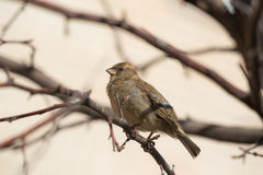 Sparrow Royalty Free Stock Images