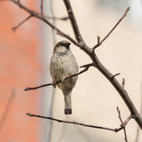 Sparrow sitting on a branch Royalty Free Stock Photos