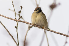 Sparrow sitting on a branch. winter, sunny, nature. Close-up Royalty Free Stock Photography