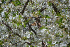 Sparrow. Sparrow sitting in the branches of a blossoming cherry prekrastno, prekrastnym sunny afternoon Royalty Free Stock Images