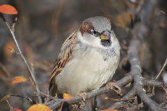 The sparrow, sitting on the brunch Royalty Free Stock Image