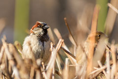 Sparrow sitting on a bush.  Royalty Free Stock Image