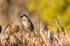 Sparrow sitting on a bush.  Royalty Free Stock Photo