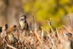 Sparrow sitting on a bush.  Stock Image