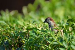 Sparrow sitting on the bush Royalty Free Stock Photo