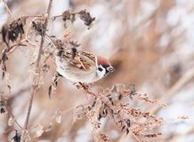 Sparrow sitting in the bushes in winter, and eats seeds Artemisi. Bird Sparrow sitting in the bushes in winter, and eats seeds Artemisia Stock Photos