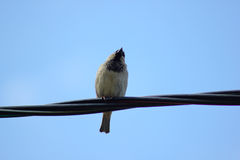 Sparrow sitting on cable Stock Photos