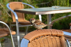 sparrow sitting on the chair in the open air resta Stock Photo