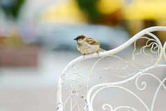 Sparrow sitting on a chair's back rest Royalty Free Stock Image