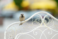Sparrow sitting on a chair's back rest Stock Photo