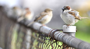 Sparrow sitting on fence. Sparrows sitting on a wire fence Royalty Free Stock Photography