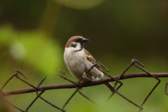 Sparrow sitting on a fence. Adult male sparrow sitting on a fence Royalty Free Stock Photography