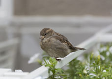 Sparrow sitting on the fence Royalty Free Stock Photography