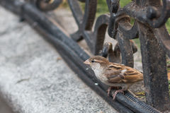 Sparrow sitting on a fence. Of a Hungarian cafe Stock Photo
