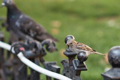Sparrow sitting on a fence. Of a Hungarian cafe Stock Images