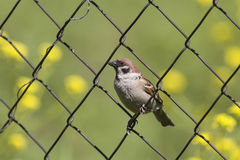 Sparrow sitting on the fence Stock Images
