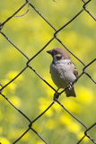 Sparrow sitting on the fence Royalty Free Stock Photo