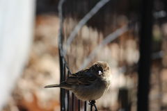 Sparrow sitting on the fence Royalty Free Stock Images