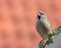 Sparrow sitting a fence Royalty Free Stock Photos
