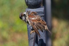 Sparrow sitting on a fence shakes off after bathing in a pool royalty free stock image