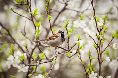 Sparrow sitting on a flowering tree,  sparrow in the spring gard. En Stock Photography