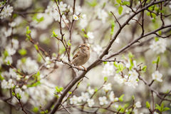 Sparrow sitting on a flowering tree,  sparrow in the spring gard. En Royalty Free Stock Image