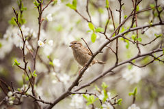 Sparrow sitting on a flowering tree,  sparrow in the spring gard Stock Photo