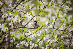 Sparrow sitting on a flowering tree,  sparrow in the spring gard Royalty Free Stock Photo